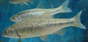 ghizani fish