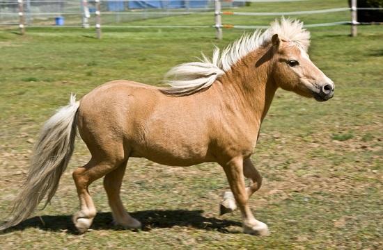 rhodian pony miniature horse