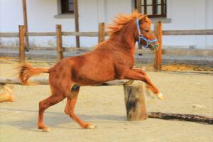 rhodian miniature horse